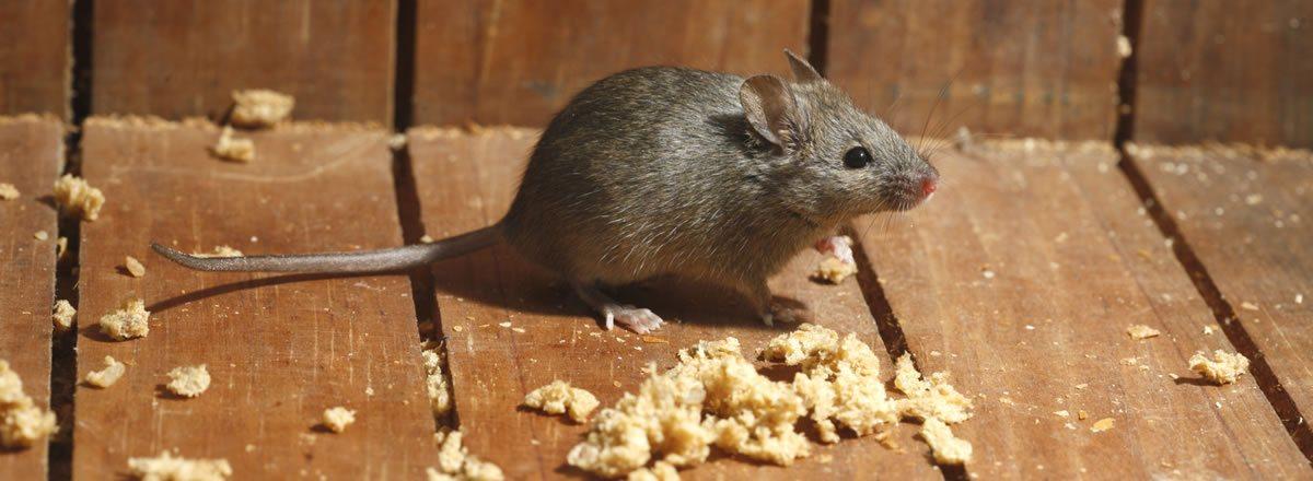 ¿Cuánta comida necesitan los ratones para sobrevivir?