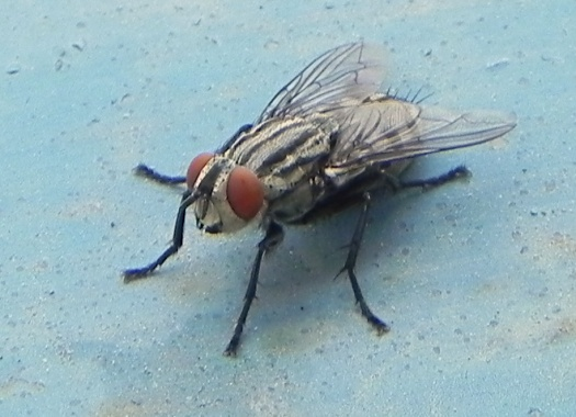 ¿Cuanto puede vivir una mosca?