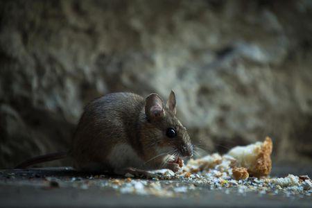 ¿Cuánto tiempo pueden aguantar los ratones sin comida ni agua?