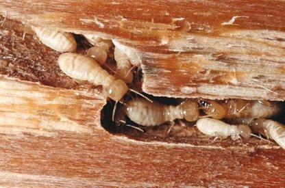 ¿Qué maderas atraen más a las termitas?