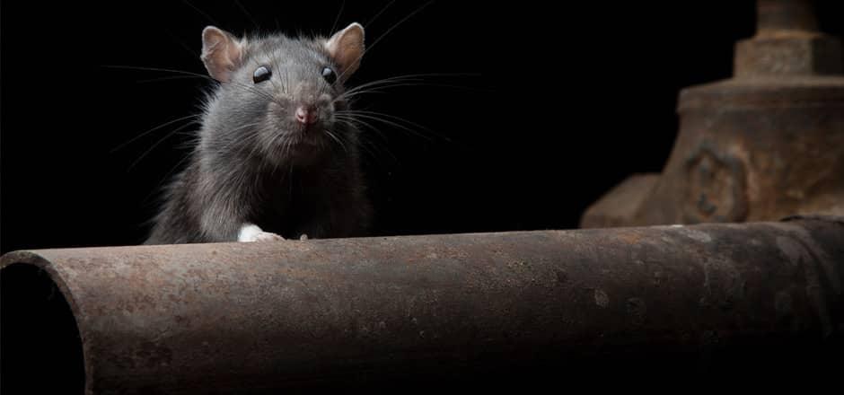 Control de ratas en sótanos