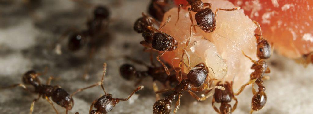 datos-sorprendentes-sobre-plagas-de-hormigas-que-no-conocias