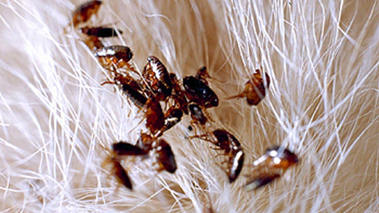 Deshazte de las pulgas con estos consejos
