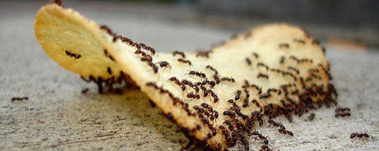 Fumigación contra hormigas