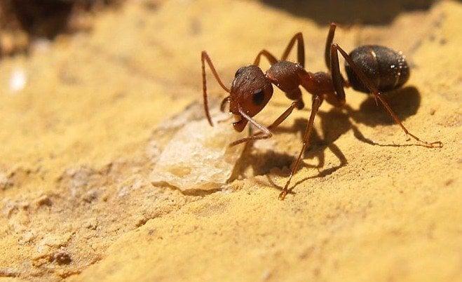 Hormigas argentinas, una plaga dificil de controlar