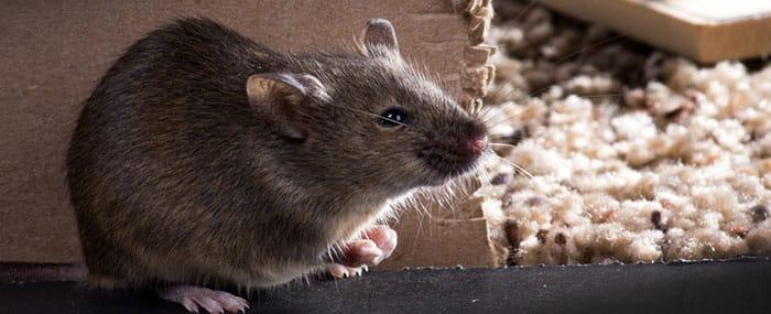 Incremento de actividad de roedores por la bajada de temperaturas