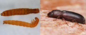 IPAs (Insectos en productos almacenados)