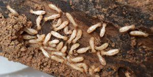 Las termitas, una plaga sorprendente